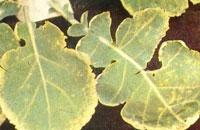 作物缺锰症状有哪些?